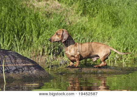 dachshund dog hunting poster