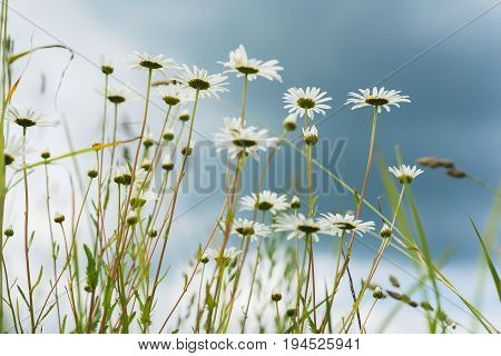 Close-up beautiful white daisies in the wind. Looking through the flowers into dark blue sky with rainy clouds. Summer day in rain. Concept of seasons, ecology, green planet