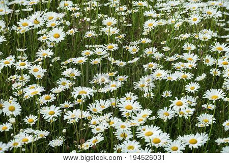 Wild field of daisys flowers in the wind. Summer day. Concept of seasons, ecology, green planet, Healthy, natural green pharmacy, perfumery. Natural background.