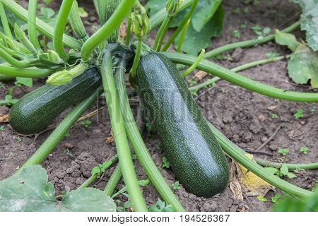 Courgette plant (Cucurbita pepo) with green fruits growing in the garden bed outdoors