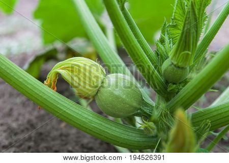 Courgette plant (Cucurbita pepo) with green fruits round form growing in the garden bed outdoors