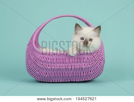 Cute 6 weeks old rag doll baby cat with blue eyes hanging over the edge of a pink basket on a blue turquoise background