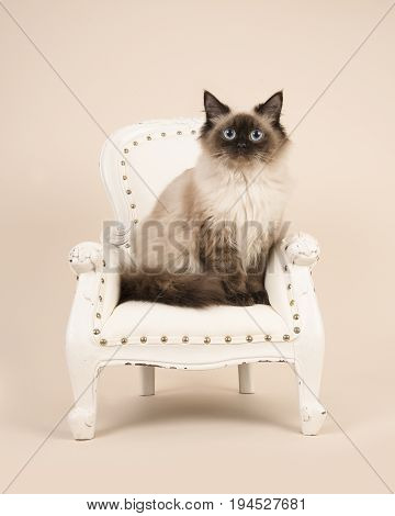Pretty adult rag doll cat with blue eyes sitting in an white classic chair on a creme sand colored background