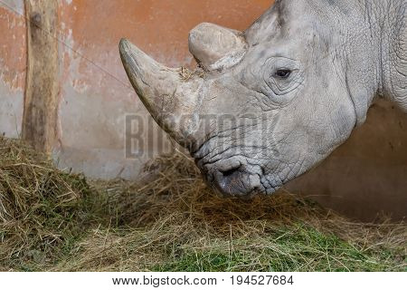 Close up portrait of white rhinoceros square-lipped rhinoceros.
