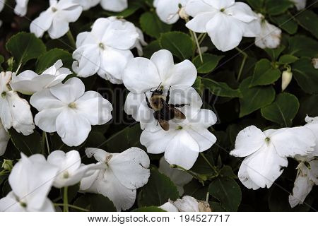 Bumble bee gathering nectar from white flowers