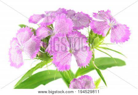 Pink Sweet William flowers (Dianthus barbatus) isolated on white background