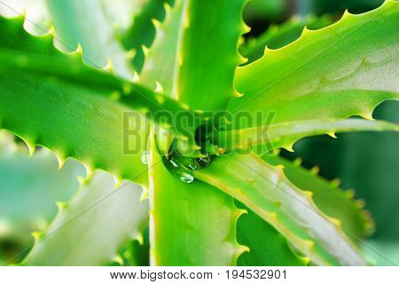 Drop Of Water On The Green Jagged Leaves Of A Medicinal Plant Of Aloe Vera.