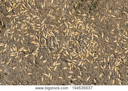 seed of wheat grain on brown soil in perfect light after harvest in summer
