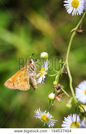 Golden Butterfly on frilly white field asters