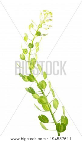 Field penny-cress (Thlaspi arvense) with fruits isolated on white background. Medicinal plant
