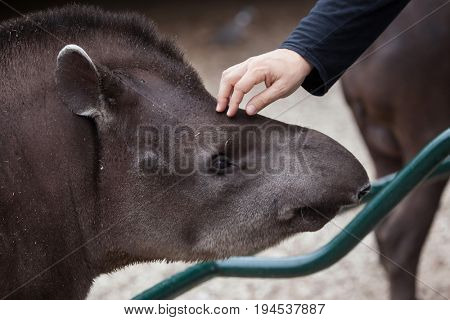LES MATHES, FRANCE - JULY 4, 2016: Visitor touches the South American tapir (Tapirus terrestris), also known as the Brazilian tapir at La Palmyre Zoo in Les Mathes, Charente-Maritime, France.