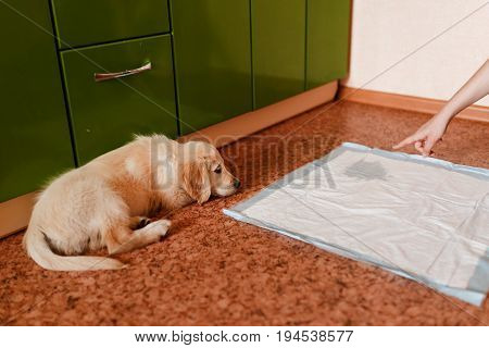 puppy of the golden retriever walks to the toilet on the absorbent diaper. Concept training, training dogs cine.
