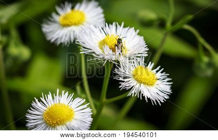 White field asters with a little winged ant