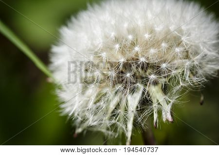 Dandelion gone to seed and ready to fly