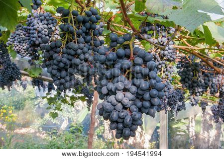 fresh bunch of purple grapes in garden