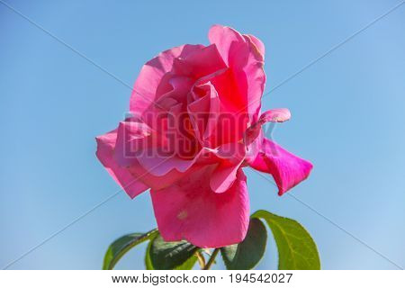 pink rose up to blue sky in bright day