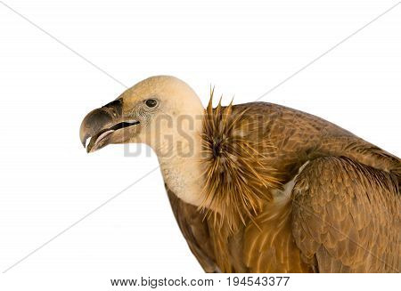 Large predatory bird of an animal brown griffin on a white background