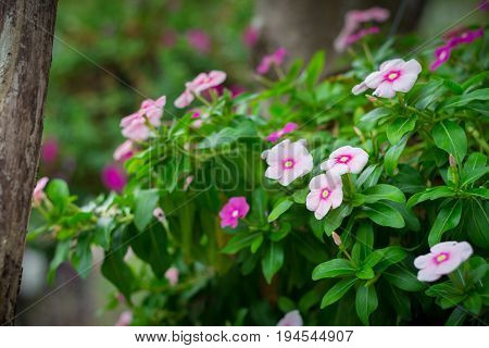 Catharanthus Roseus Flower or Rosy Periwinkle in the garden