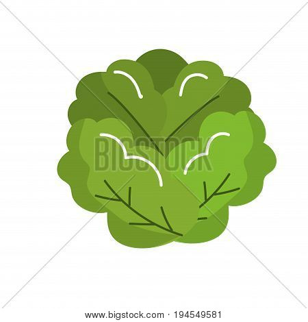 delicious and health lettuce vegetable vector illustration