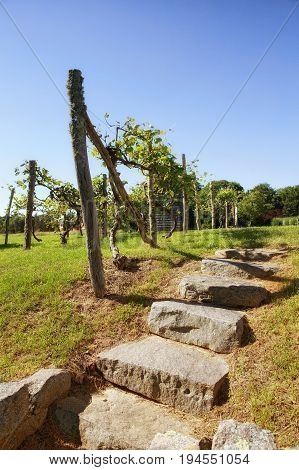 scenic landscape view on the vineyards. Stone steps and grapevines outdoors. Vertical