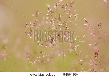 Delicate thin spikelet on a beige background