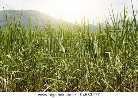 The sugarcane field begins with a mountainous background and the sky.