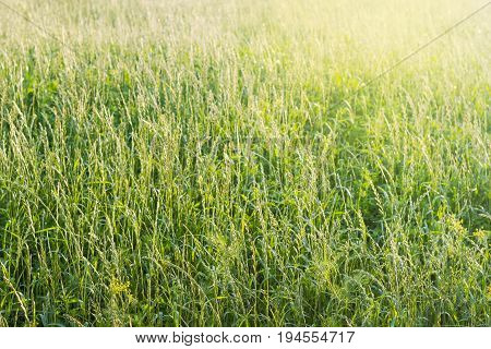 Background of the field with high grass with let out ears on the sunset at summer