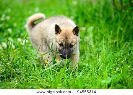 A Beautiful Siberian Laika Puppy On The Grass