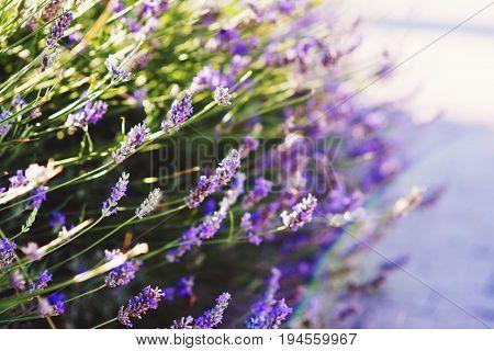 Lavender bushes closeup on sunset. Sunset gleam over purple flowers of lavender
