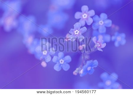 Forget-me-nots on a blue background. Art image blue colors. Selective soft focus.