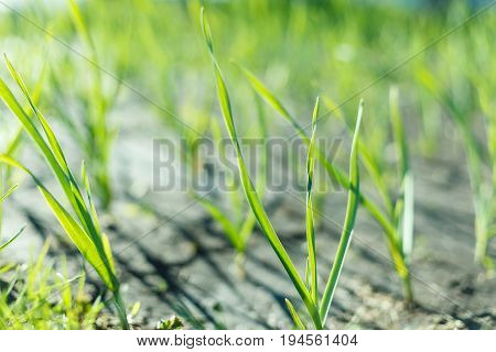 The plant of onion in rows at farm field