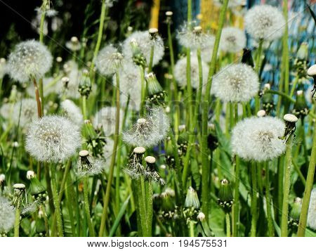 Flown dandelions close-up on background of green grass.