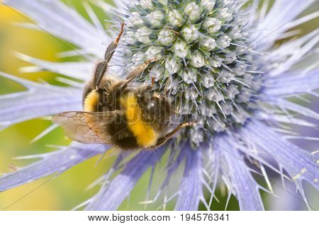 Sea Holly with large bumble bee close up