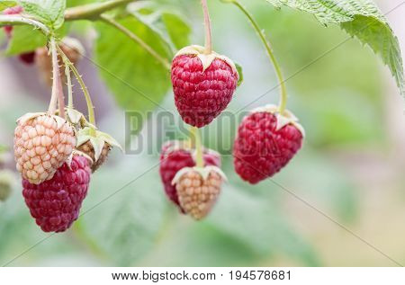 Red raspberry (Rubus idaeus) of berries ripening closeup