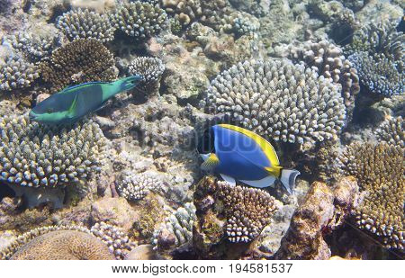 Powder blue tang (Acanthurus leucosternon) and parrotfish (scarus ) over a coral reef the Indian Ocean