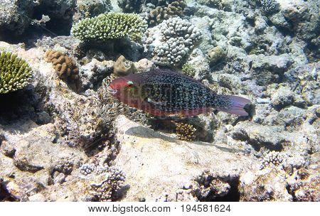Fishes in corals. Underwater world.Scarus ferrugineus Underwater landscape in a sunny day