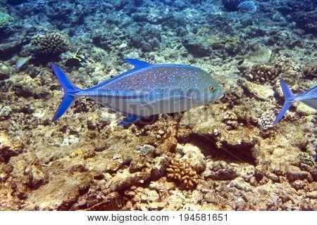 Jack fish- Caranx lugubris Underwater landscape in a sunny day