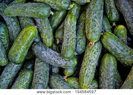 Cucumbers in summer. Fresh wet pickle ready for canning. Cucumbers for salads or canning. Cucumbers in countryside. Summer vegetables. Organic agriculture in village.