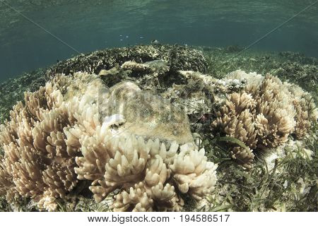 Coral bleaching. Dead and dying coral killed by global warming, climate change