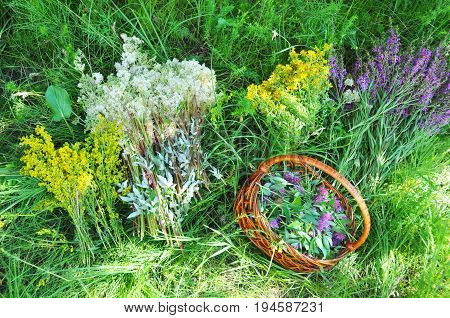 Herbs Gathering. Herbal Plants. Hypericum perforatum yellow bedstraw St John's wort Galium verum Red Clowers Filipendula ulmaria meadowsweet is commonly used to make a sweet-tasting herbal tea.
