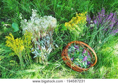 Herbs Gathering. Herbal Plants. Hypericum perforatum yellow bedstraw St John's wort Galium verum Red Clowers Filipendula ulmaria meadowsweet is commonly used to make a sweet-tasting herbal tea.