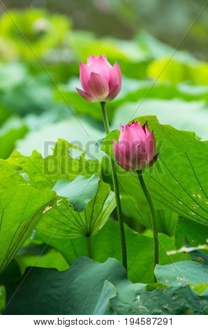 Pink waterlilies among green leaves in a pond
