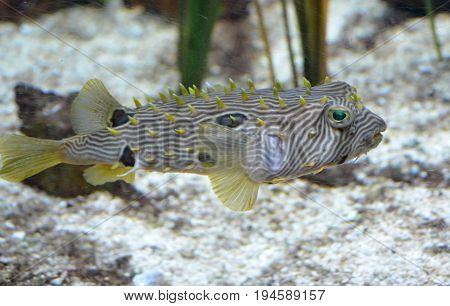 Fantastic striped burrfish swimming along the ocean floor.