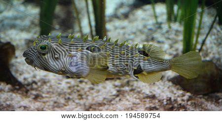 Striped burrfish along the ocean floor in Virginia.
