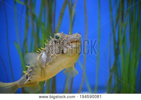 Fantastic look at a striped burrfish underwater with eel grass.