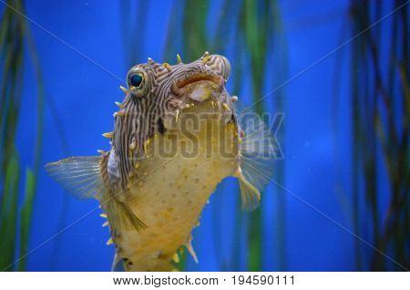 Fantastic close up look at a striped burrfish face.
