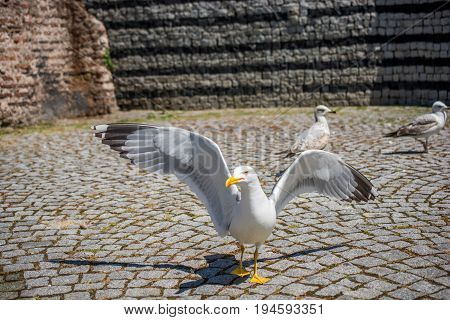 Single Seagull In The Street
