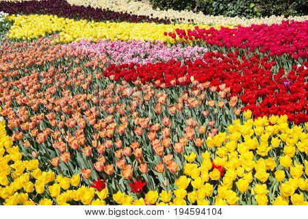 Colorful Tulip Flowers In The Garden