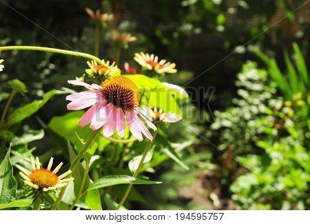 Echinacea purpurea (eastern purple coneflower or purple coneflower) flowers in bloom in the garden in morning light. Echinacea purpurea is used in folk medicine.