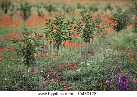 Newly planted cherry orchard in late spring with red poppies selective focus